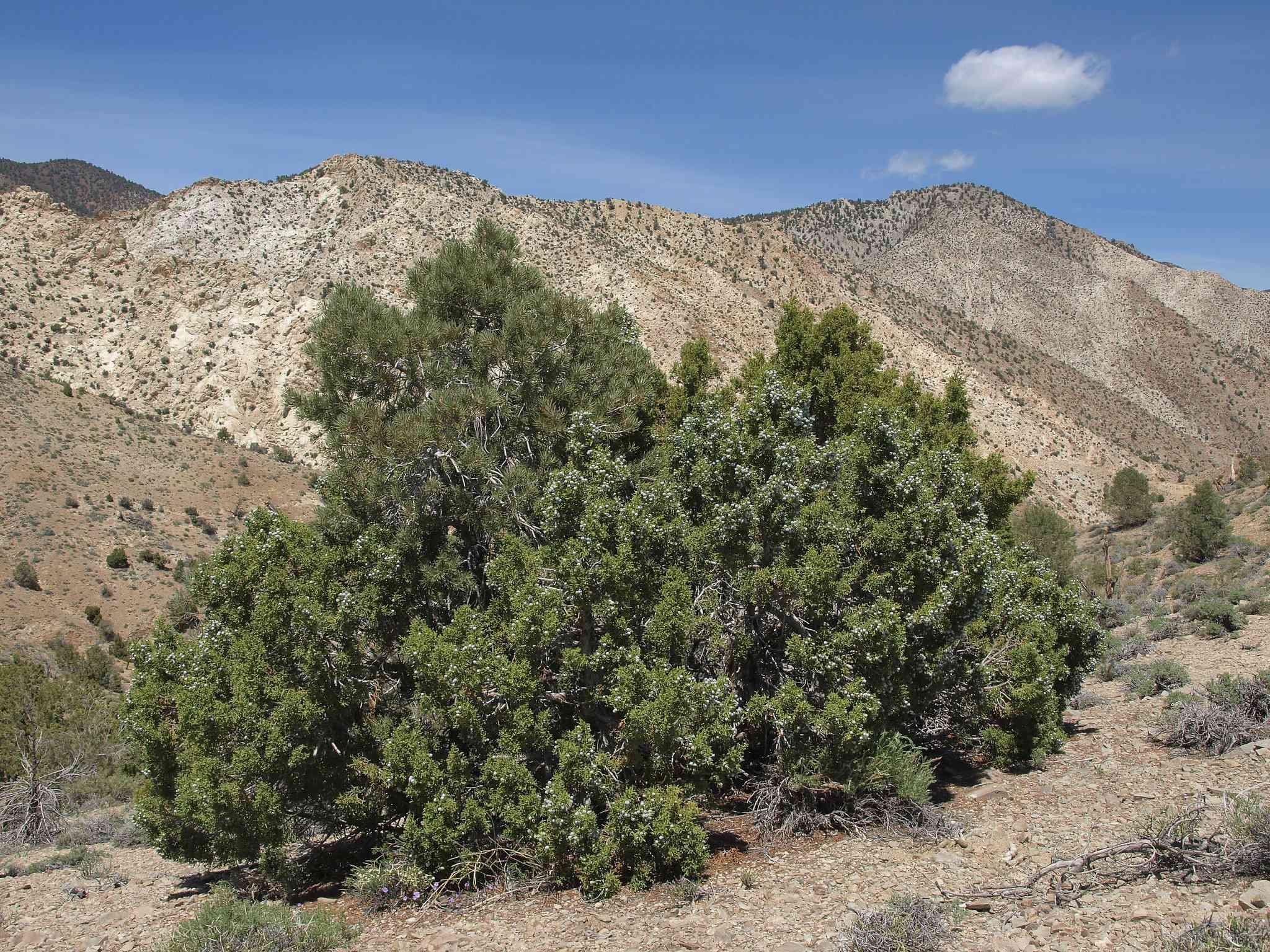 A Juniper in a desert setting in against hill backdrop.