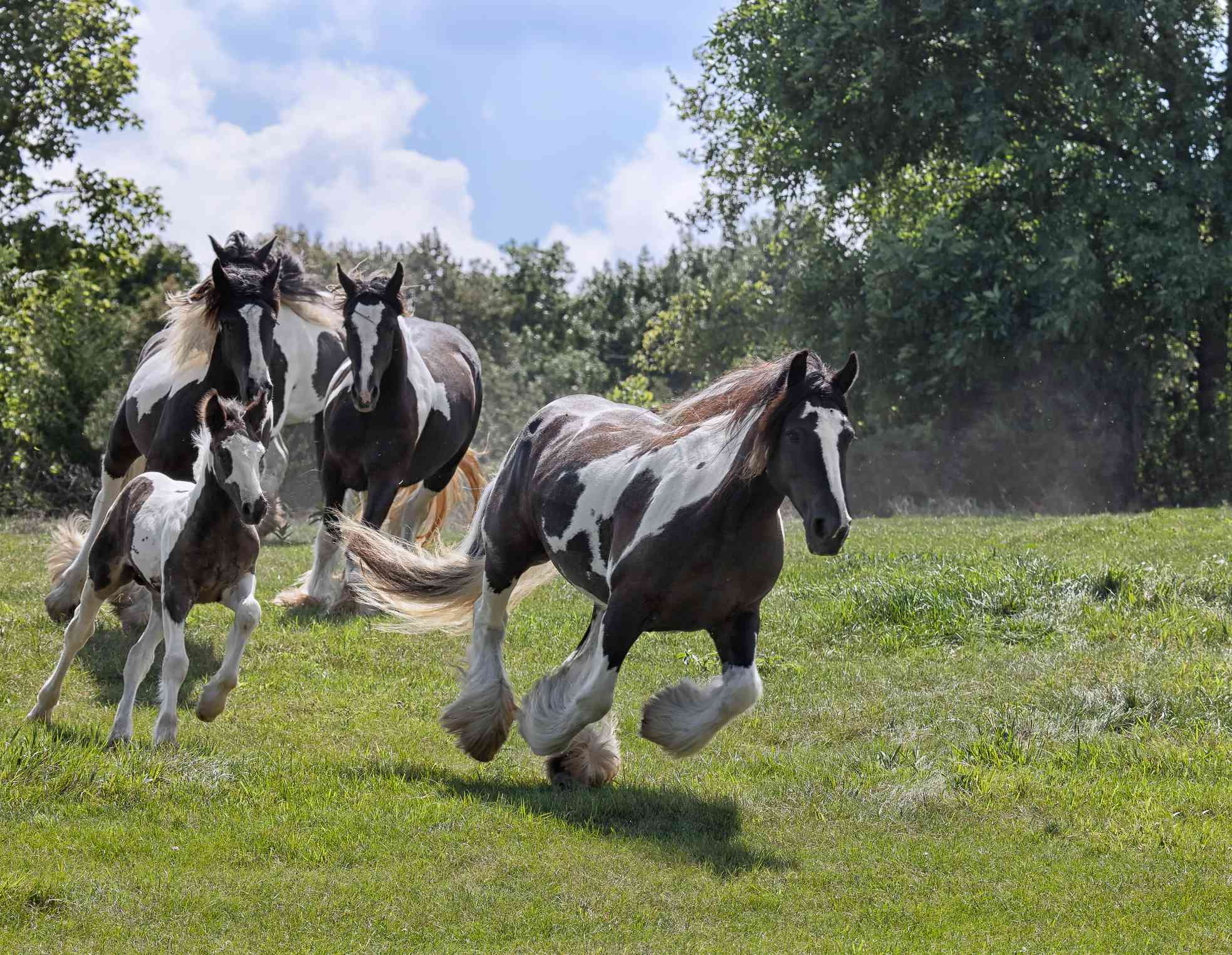 A band of brown and white horses runs wildly in a grassy field