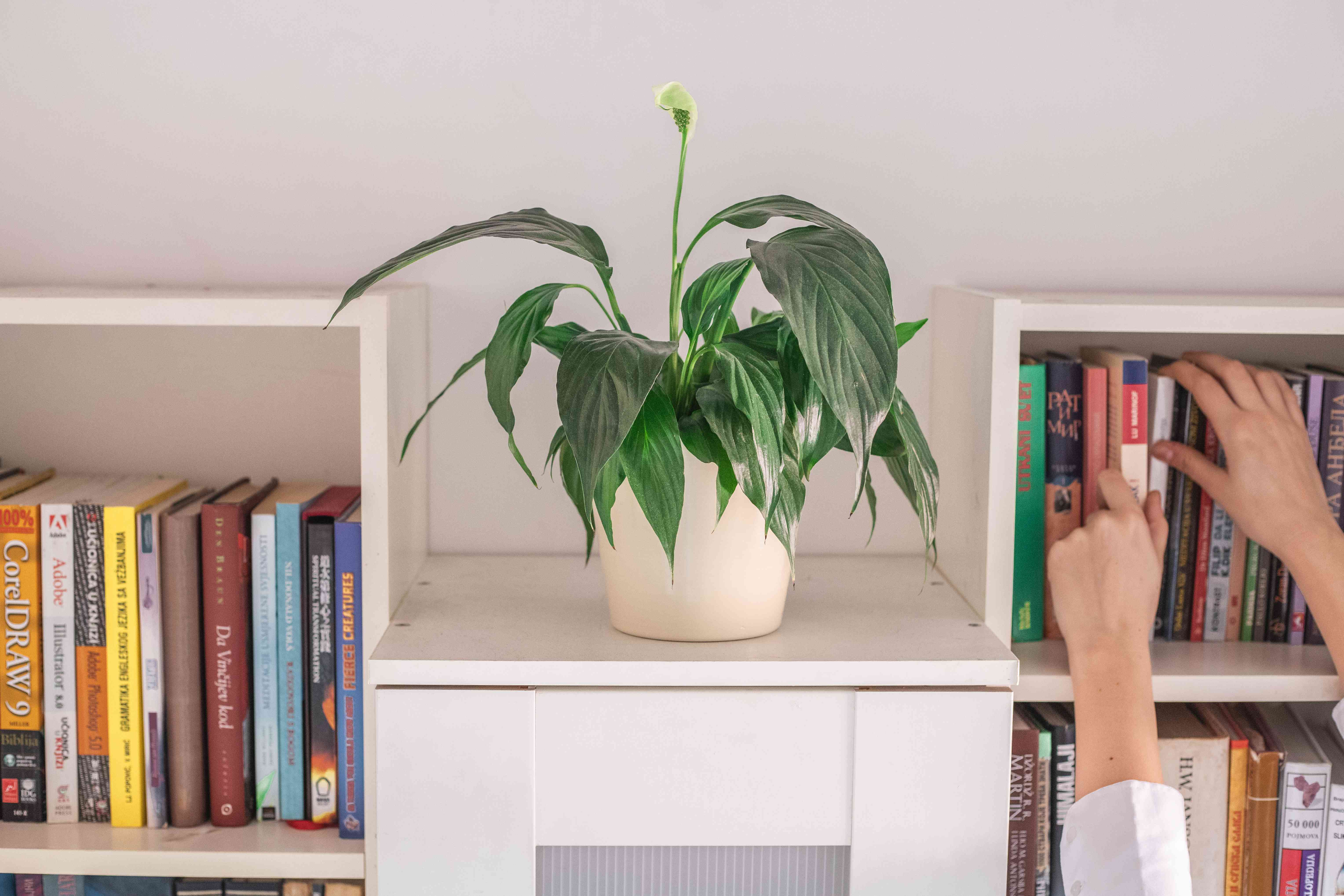 peace lily plant on white bookshelf while hands reach for a book