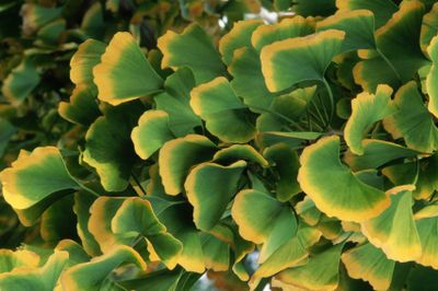 Ginko leaves with yellow rims on a tree.