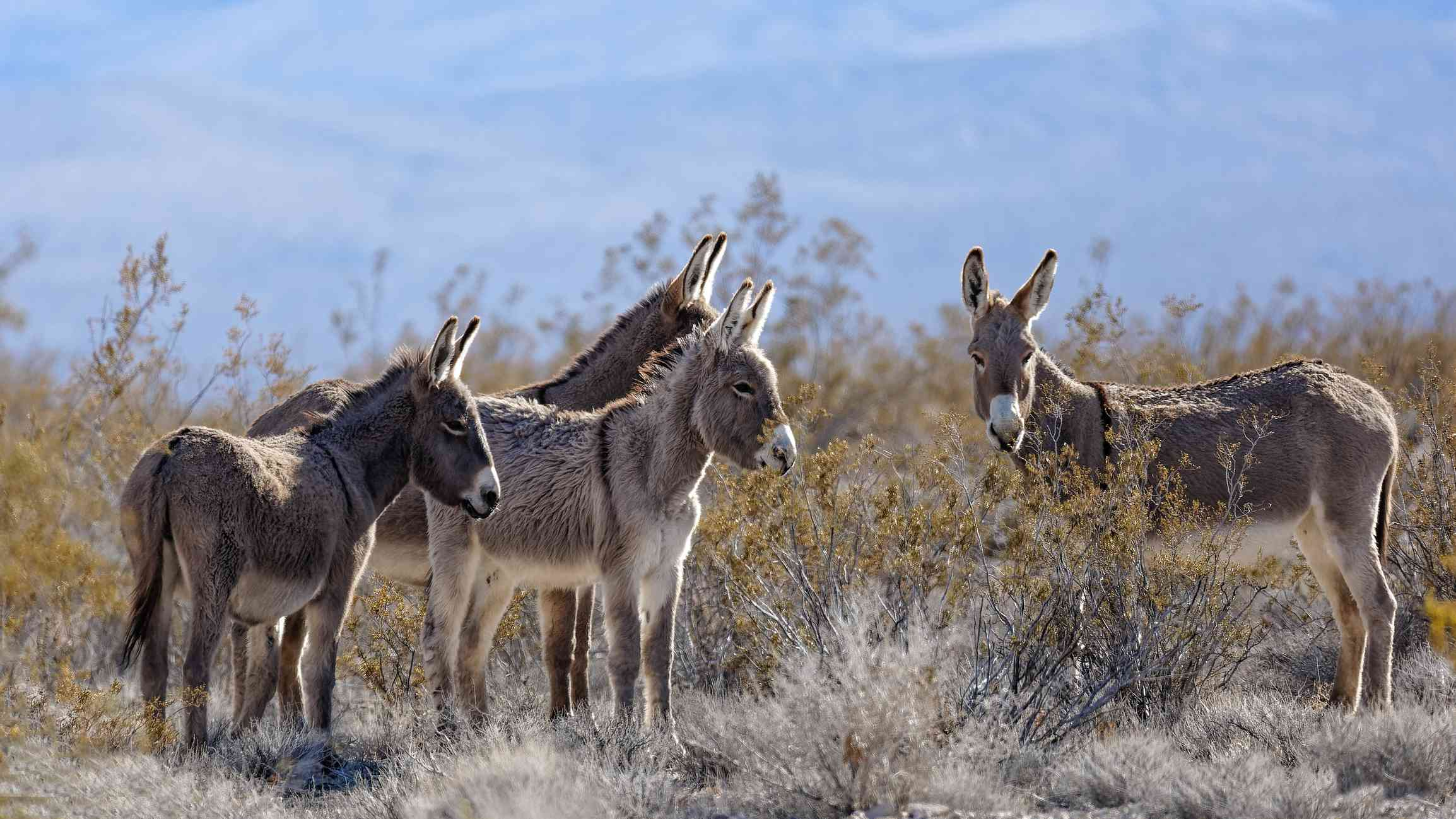 group of four burros stand near dry bushes