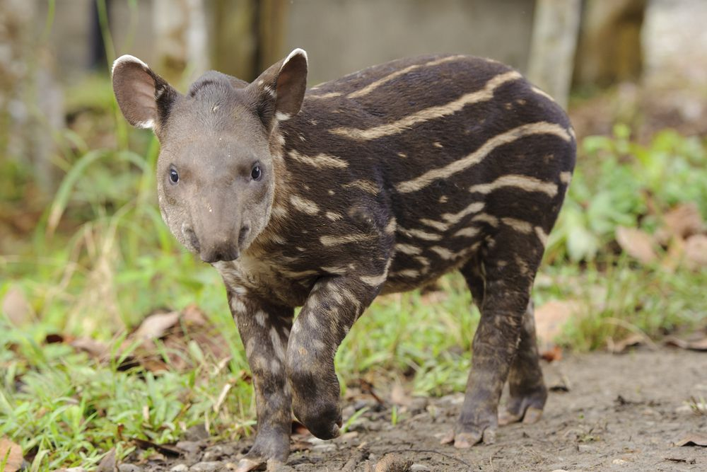 Baby tapir with distinctive camouflage markings