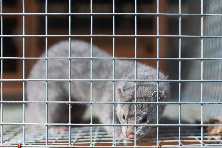 silver mink in a cage