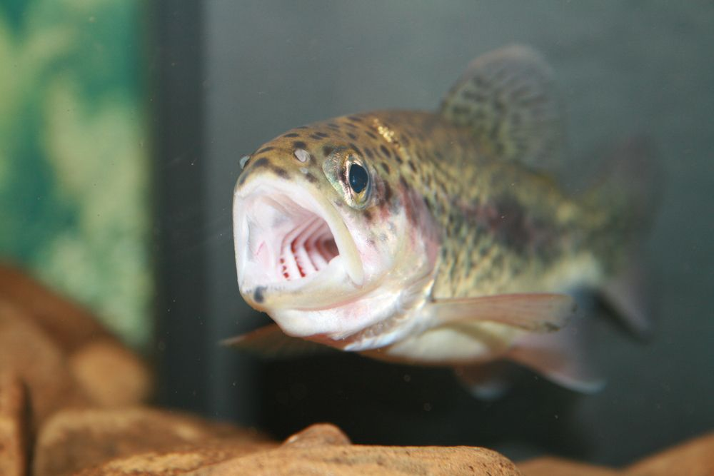 trout with mouth open