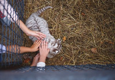 children's hands reach through the bars to stroke tiger cub