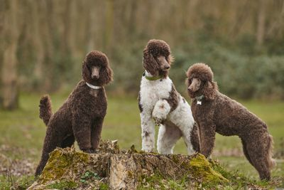 three brown and white standard poodles stand on a tree stump