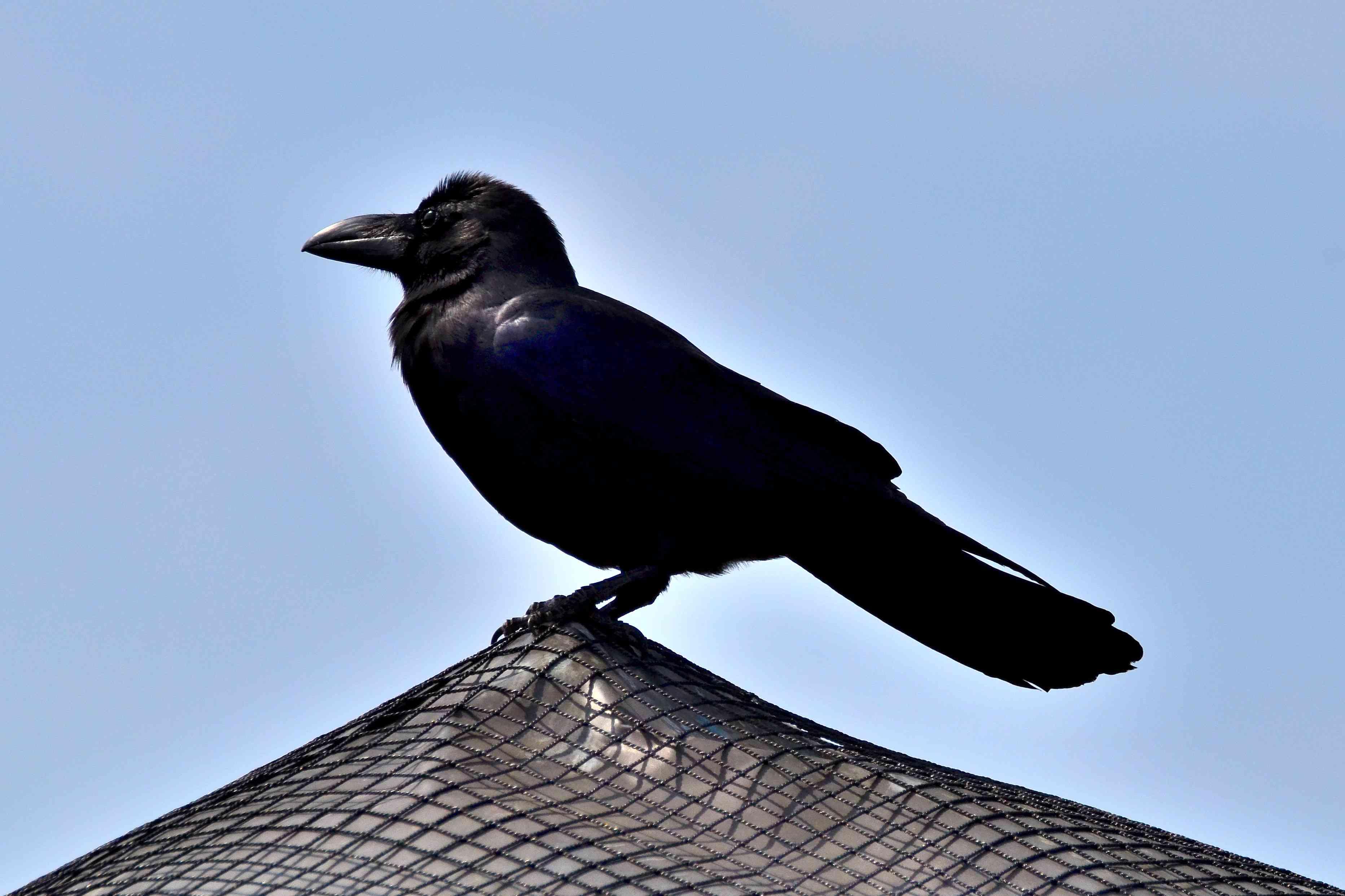 jungle crow at Yokohama Zoo