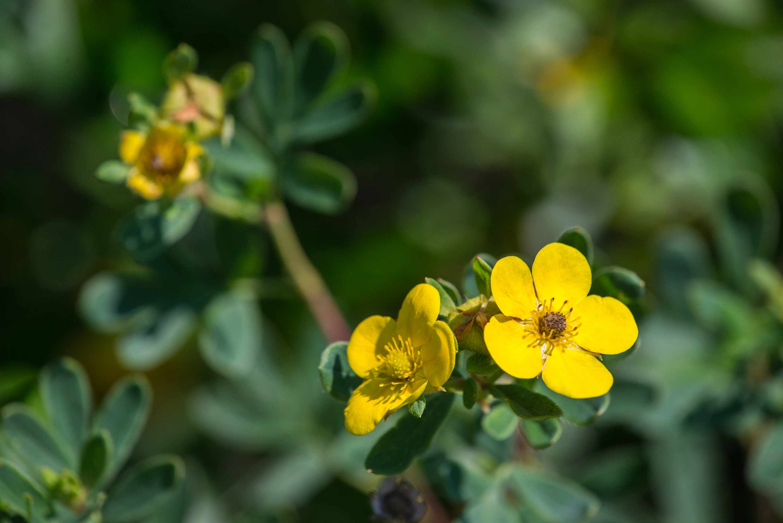 Yellow tundra rose