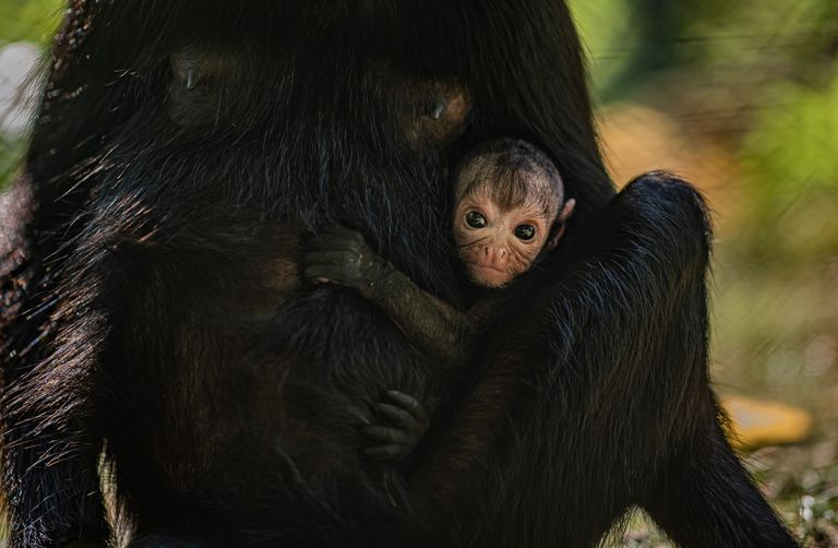 spider monkey baby at Chester Zoo