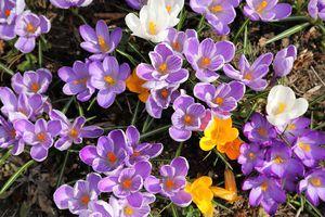 colorful crocuses blooming
