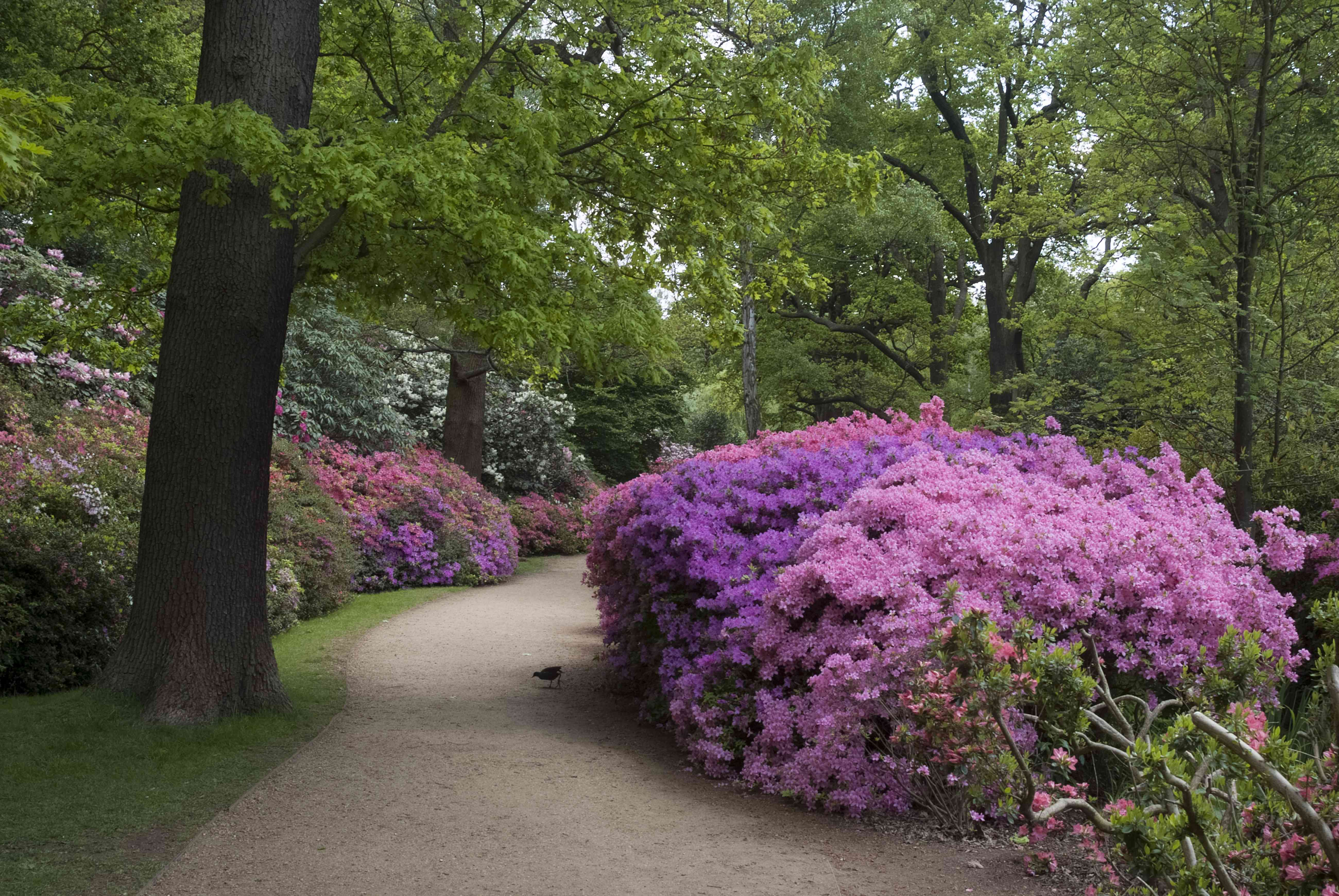 Pink rhododendron lining a sidewalk in the park