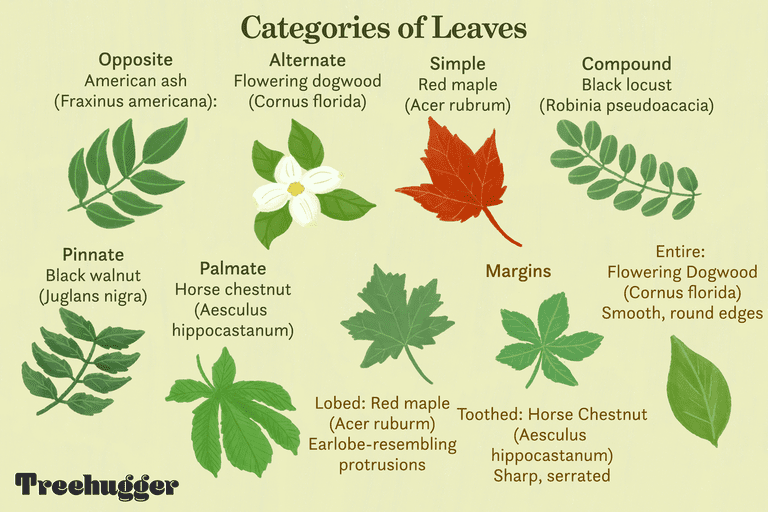 categories of Deciduous leaves for trees illo