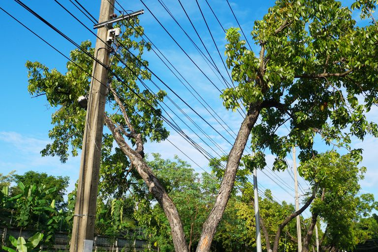 A tree growing around electric power lines.