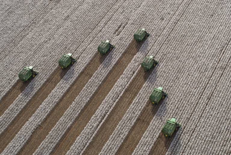 Combines harvesting cotton