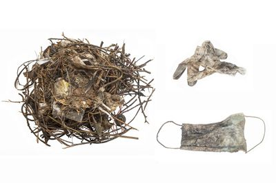Nest of common coot (Fulica atra) partly built with face mask (GW9792-3) and glove (GW9792-4). Nest located at the Beestenmarkt, Leiden, The Netherlands, collected on the 6th of September 2020.