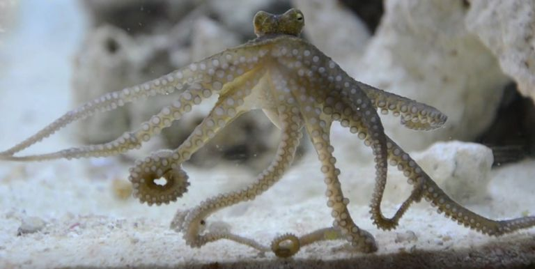 Octopus Outsmarts Testers in Intelligence Experiment