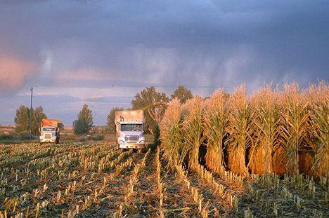 corn harvesting photo