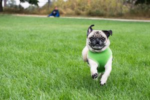Pug in a dog harness