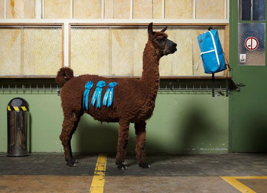 Llama standing with three blue ribbons pinned on body