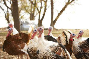 Flock of turkeys on farm