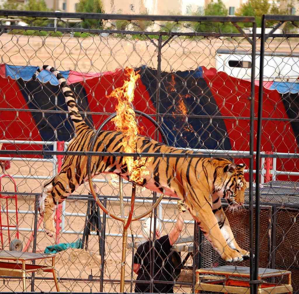 circus tiger jumps through fire