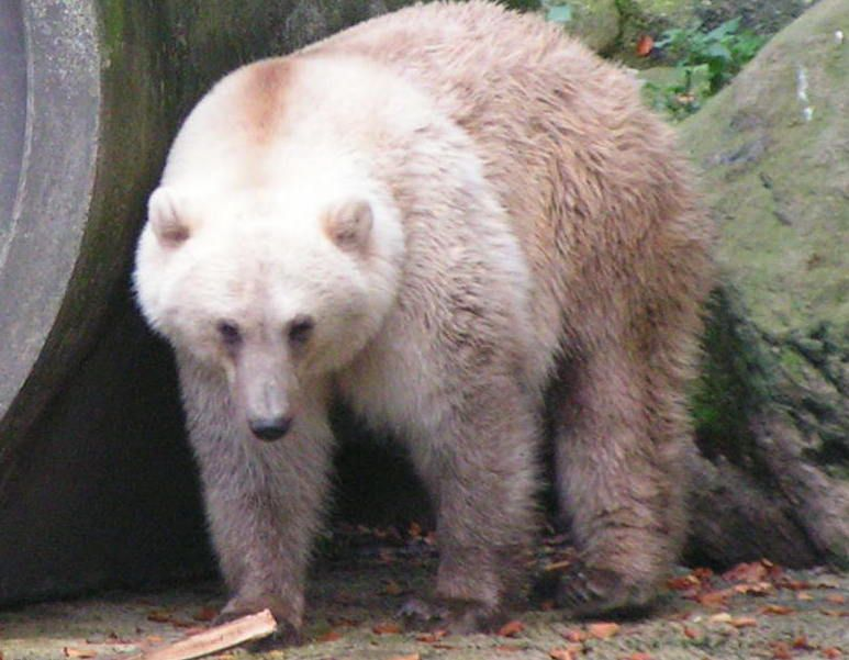 A white and brown polar bear and grizzly bear combination, the grolar bear.