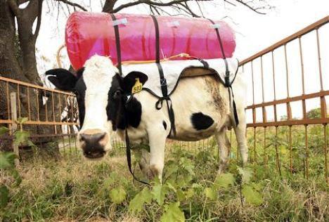 Cómo estudiar los eructos de las vacas está ayudando a los argentinos a aprender sobre el cambio climático