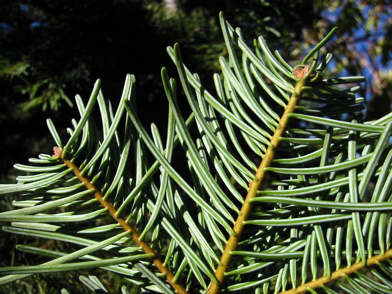 Close up of white fir tree needles