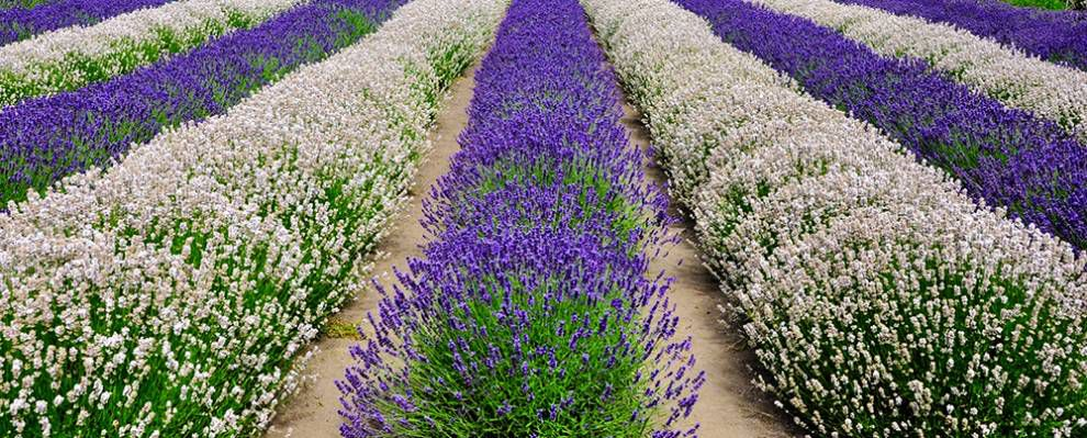 Lavender Capital of North America: White and purple rows