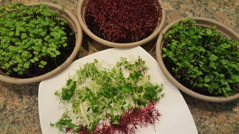 Three shallow pots filled with microgreens next to a cutting board with microgreen cuttings