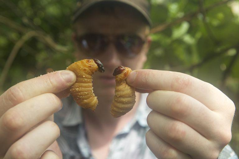 La película BUGS explora el salvaje y maravilloso mundo de los insectos comestibles