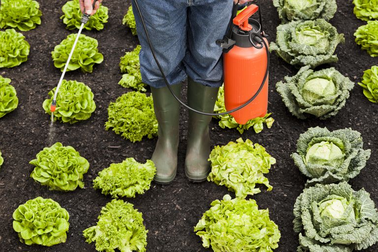 A person wearing rubber boots spraying lettuce in a garden.