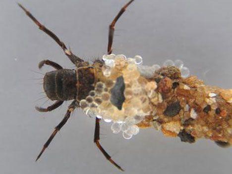 Insectos submarinos en medicina - Caddisfly Silk inspira solución de cinta adhesiva para cirugías