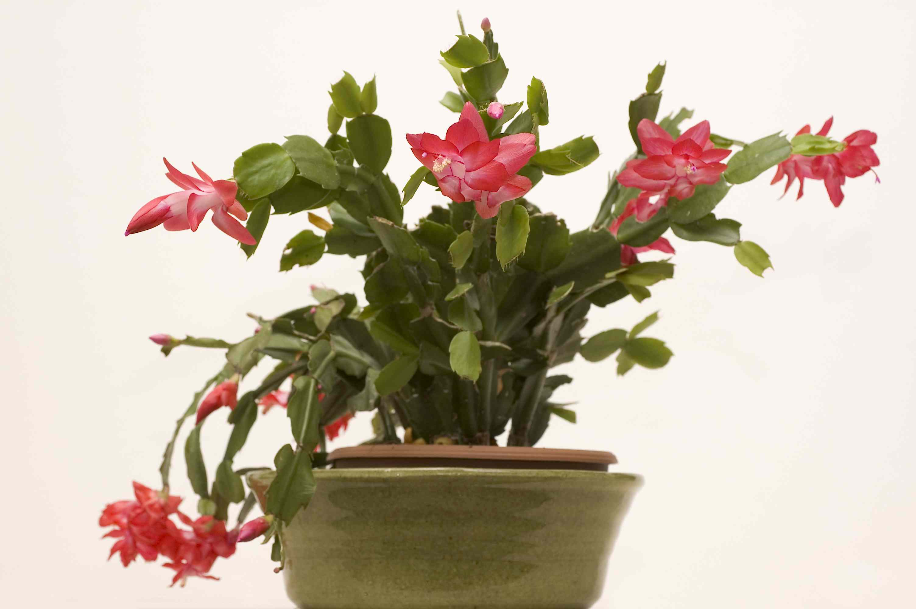 Christmas cactus plant in bloom
