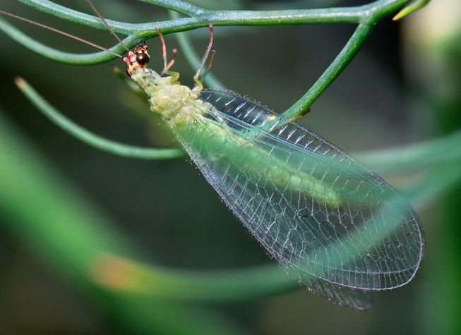 A Chrysoperla rufilabris, or lacewing, clings to a stem