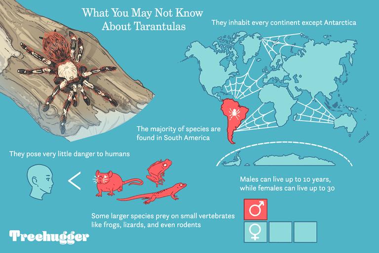 fun facts about tarantulas illo