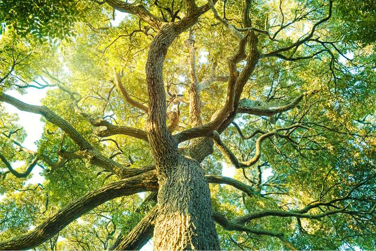 Looking up at the branches and leaves of a large tree