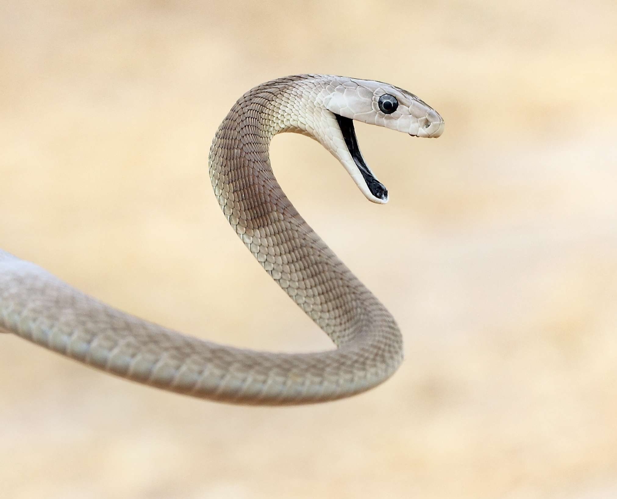 Black mamba with mouth open