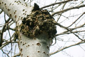 Tree Canker