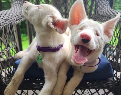 Neville Dobby puppies