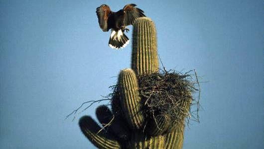 Harris hawk often builds nests on cacti