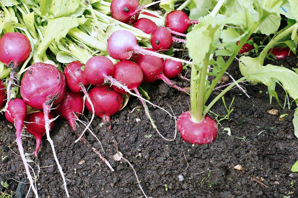 a bunch of fresh radishes just harvested from the ground