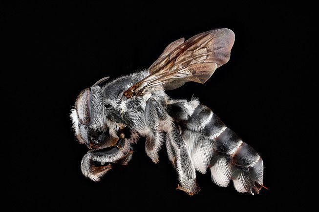 Megachile parallela or a leafcutter bee