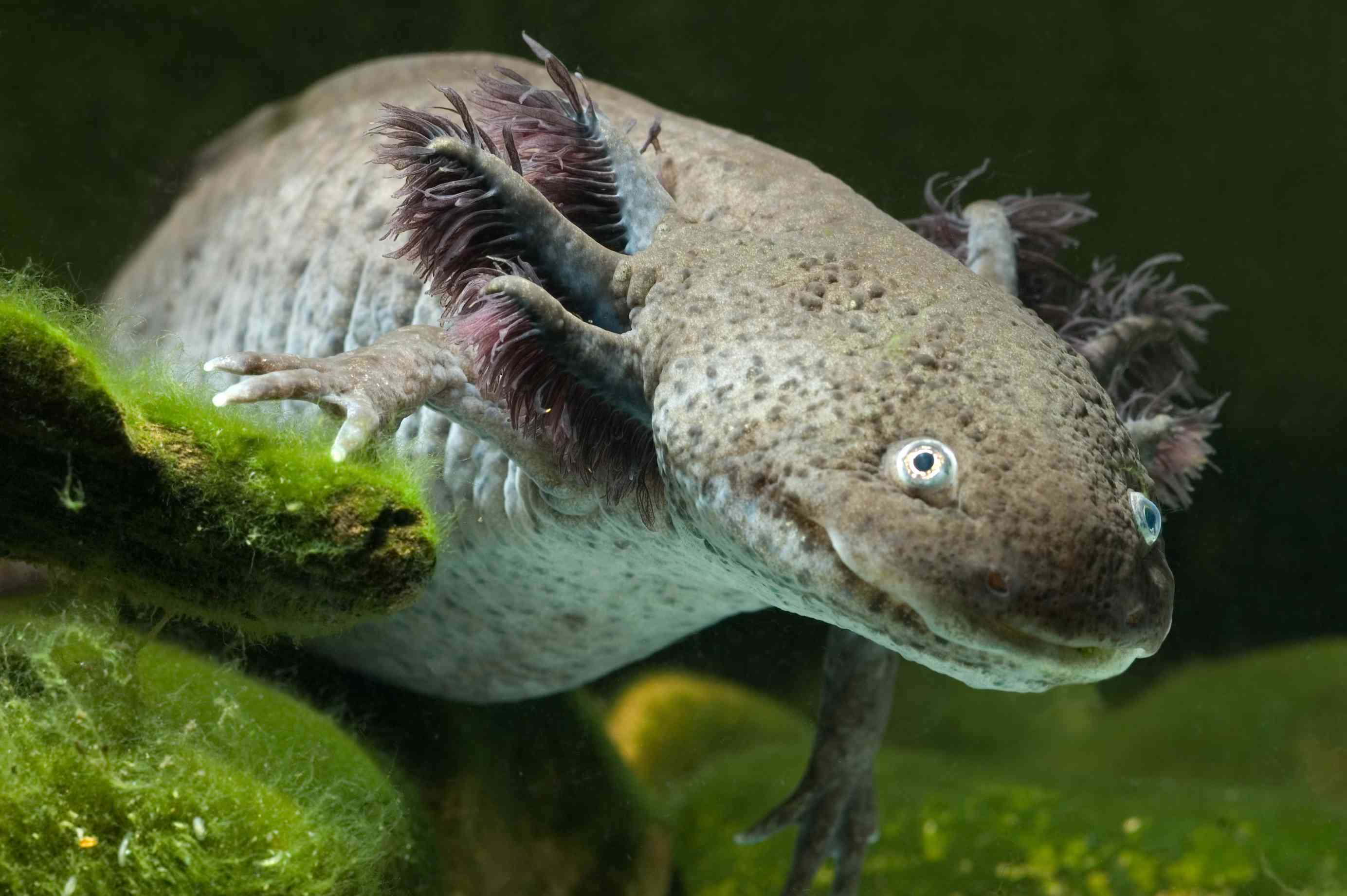 A close up of a dark axolotl floating underwater.