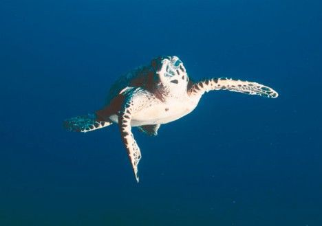 hawksbill in corals photo