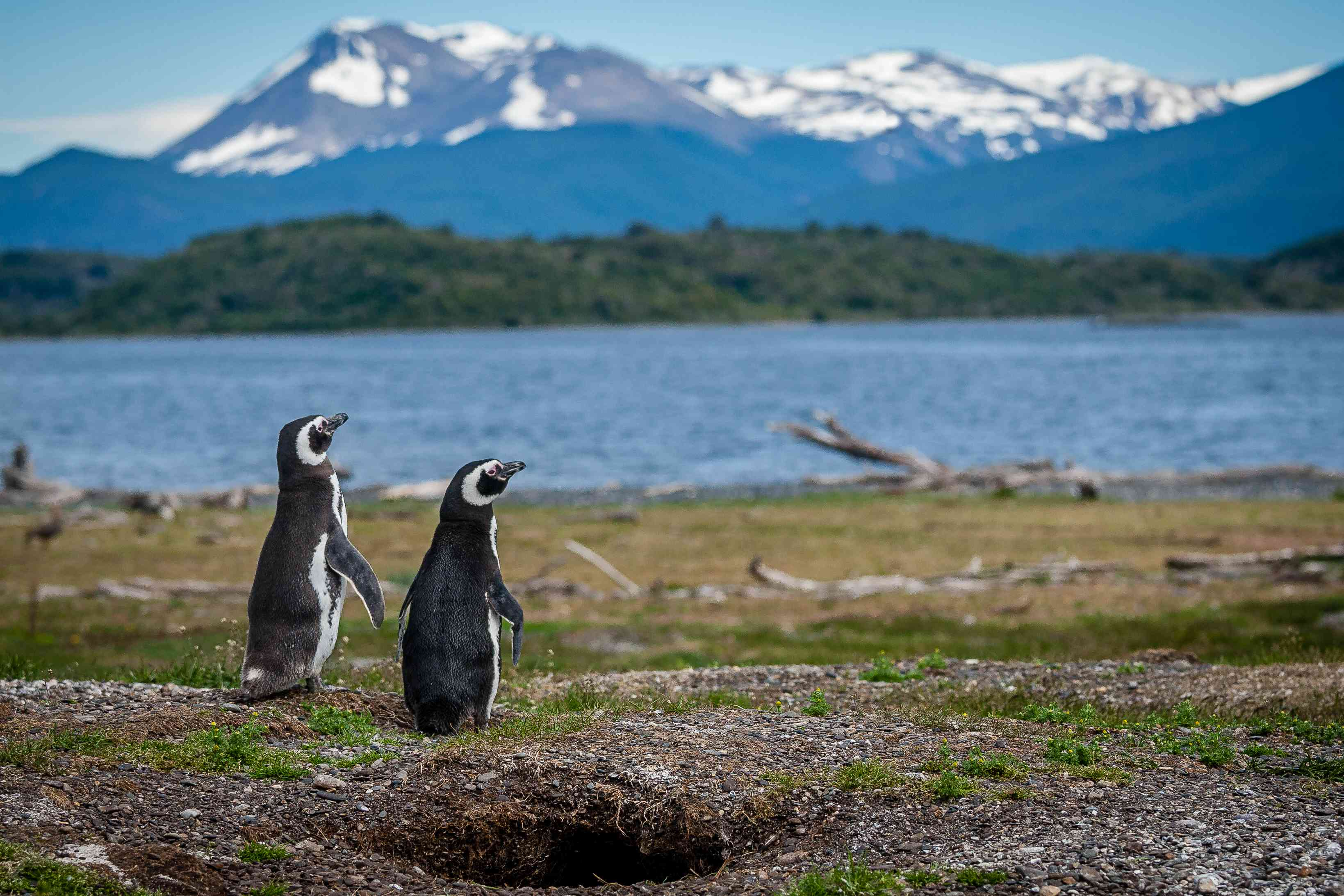 Two magellanic penguins sit on a grassy coastline in front of a body of water and mountain views