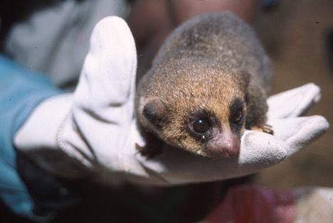 rare dwarf lemur photo