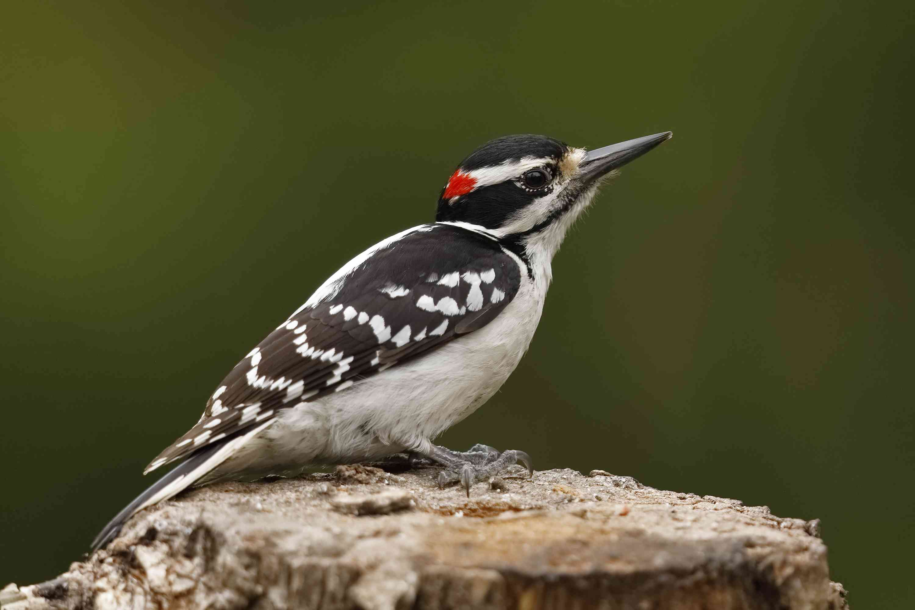 A hairy woodpecker perched on a tree stump.