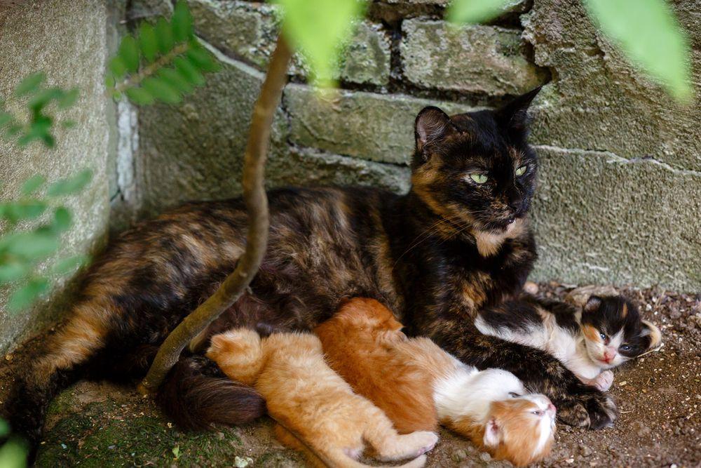 A feral cat nursing kittens