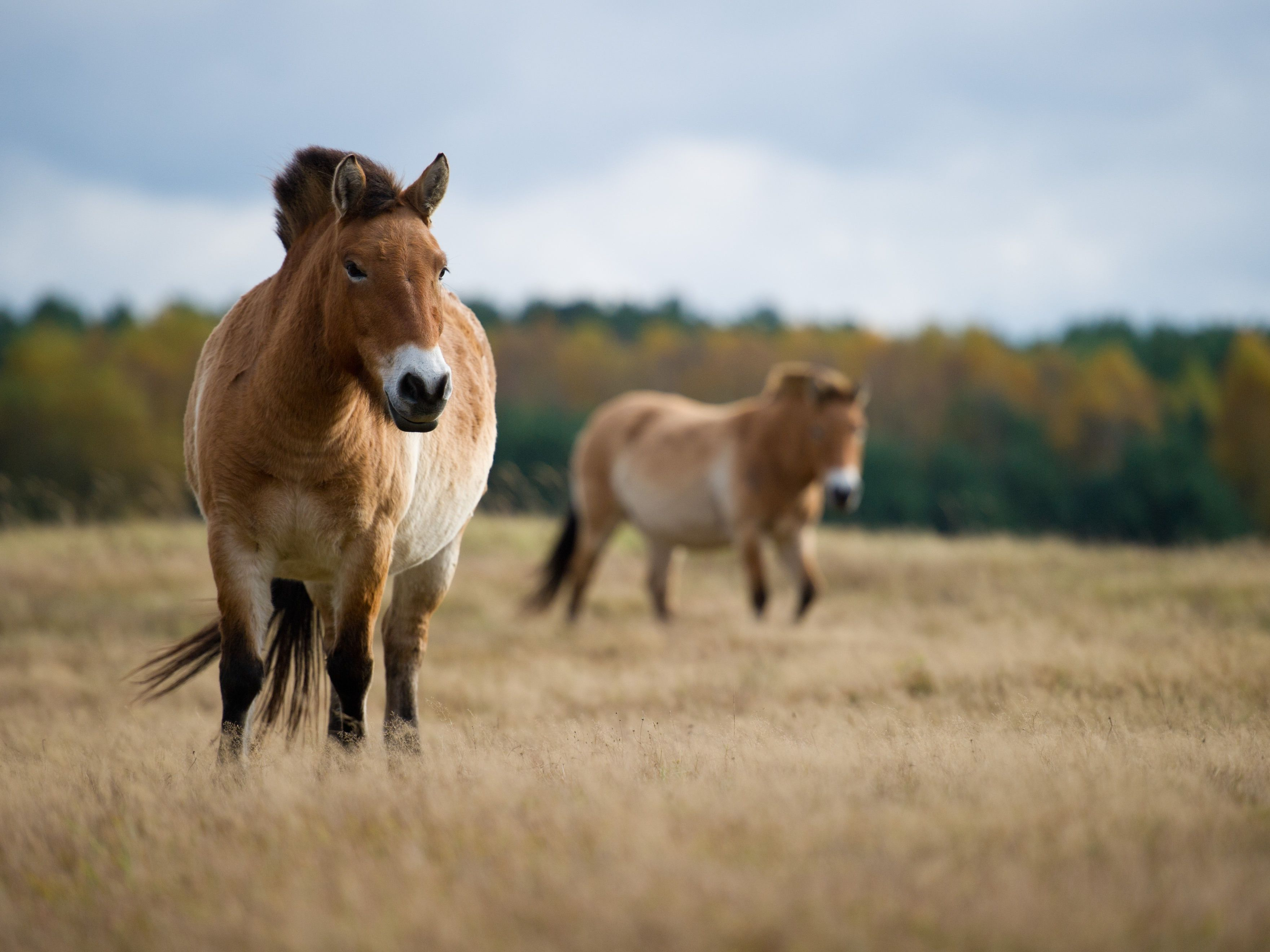 9 Facts About Przewalski S Horses
